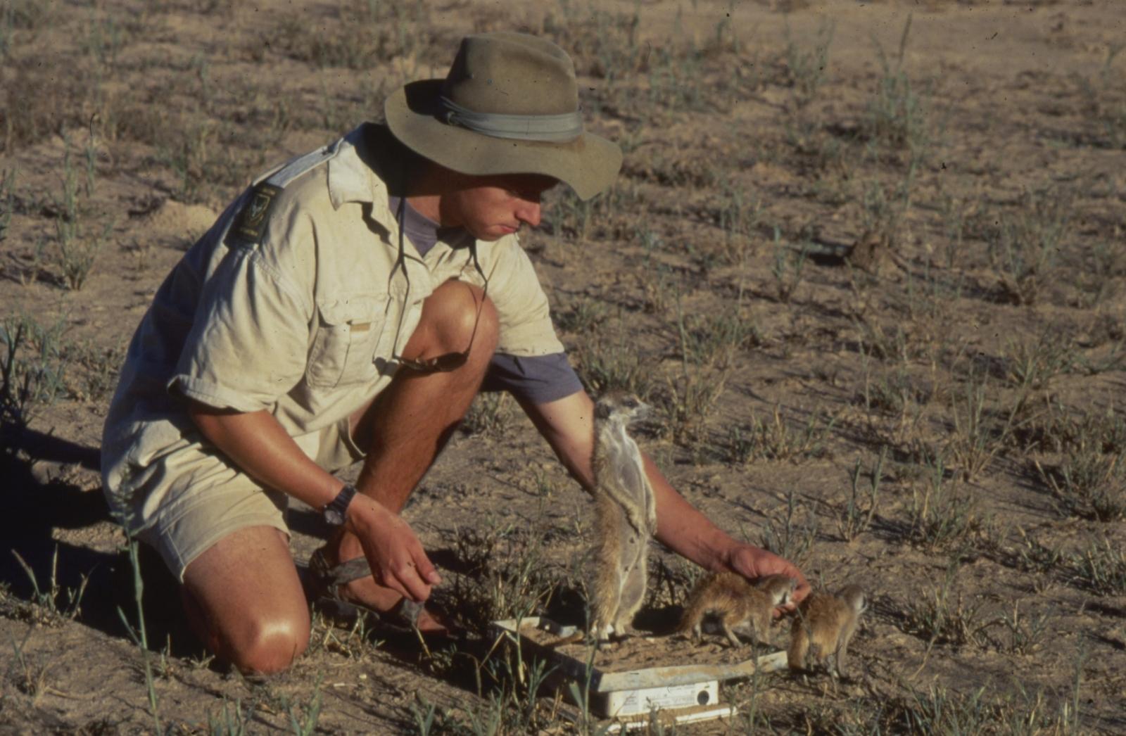 meerkats being weighed