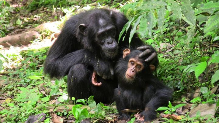chimpanzees communication