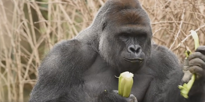 A gorilla was shot dead after a boy fell into its enclosure