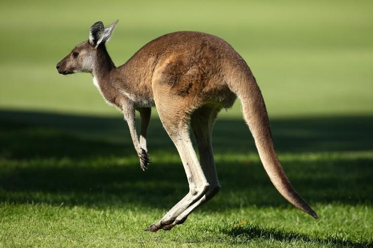 Kangaroo attack