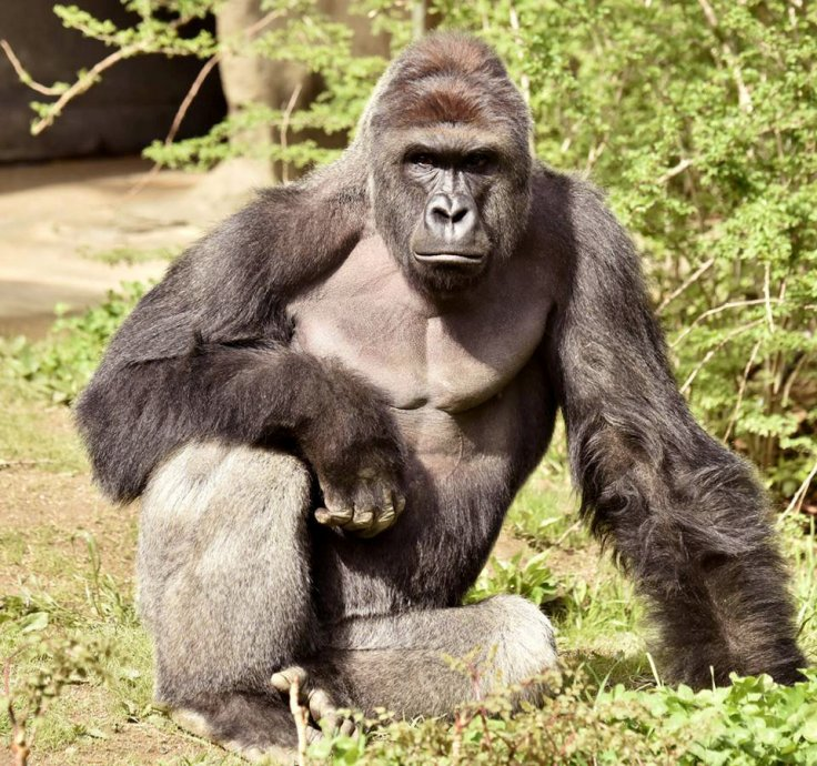 Silberback gorilla Harambe