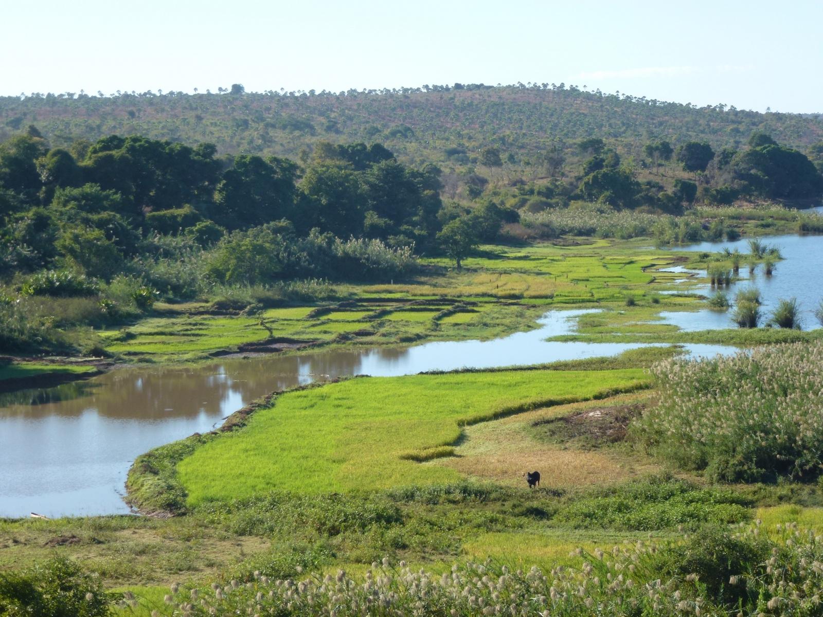 rice crops Madagascar