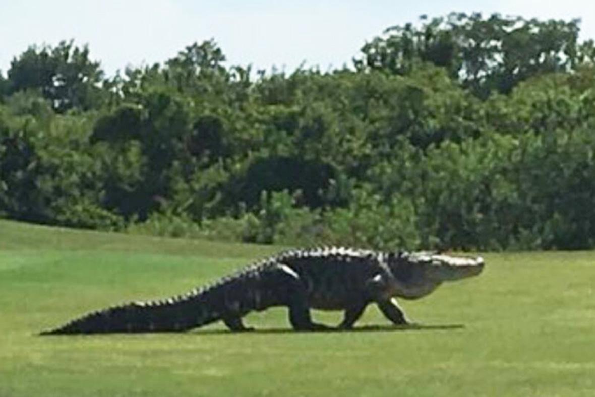 Alligator on golf course