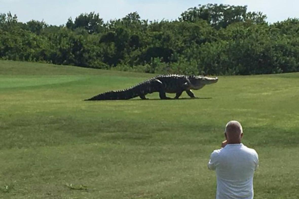 Florida: Two alligators devouring man's body exterminated