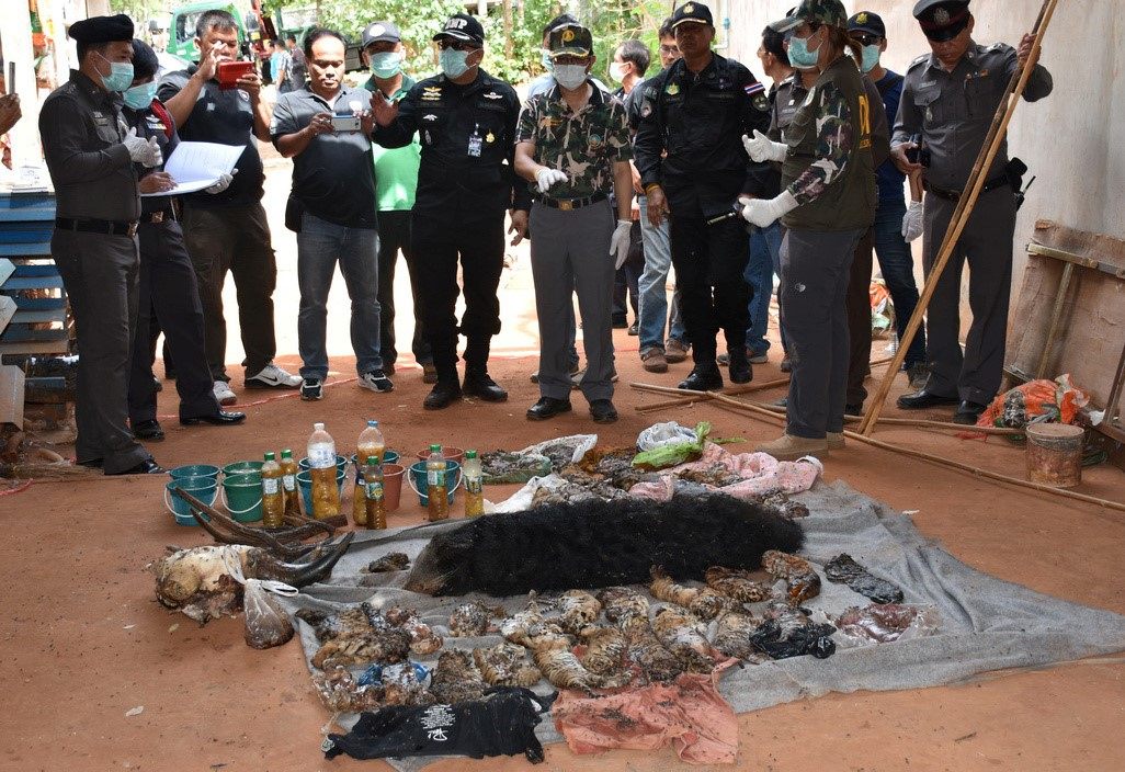 Dead tiger cubs are displayed by Thai officials after they were found during a raid on the controversial Tiger Temple,