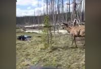 Elk charges woman in Yellowstone