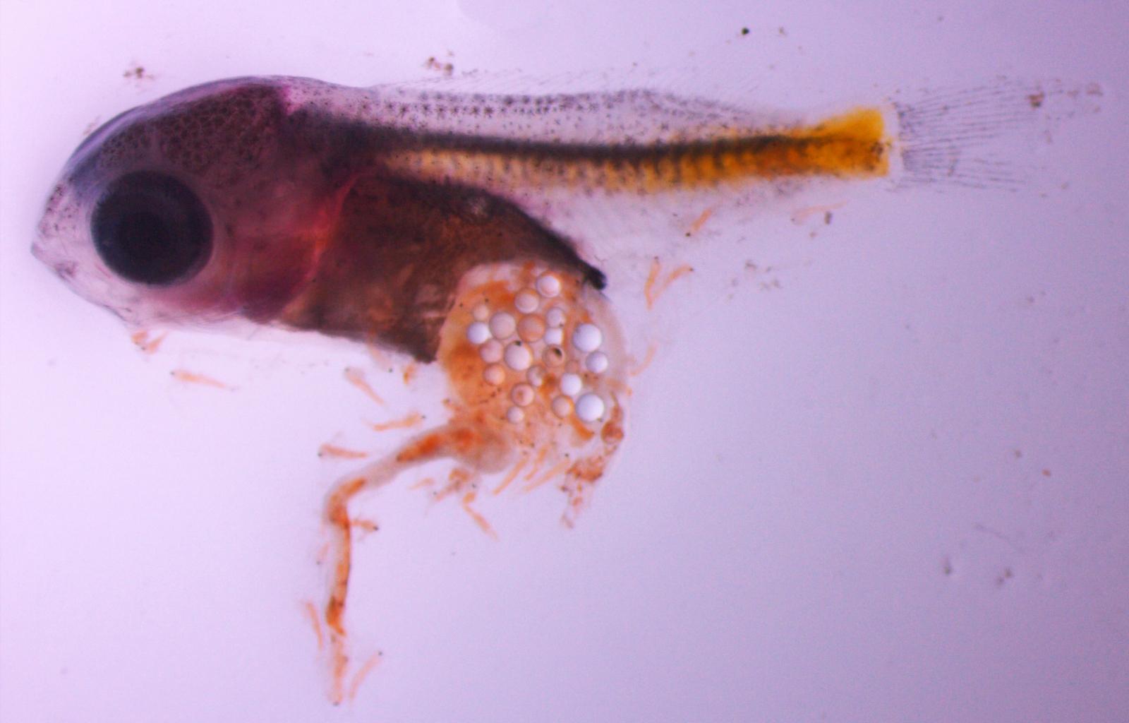 microplastics Damselfish larvae