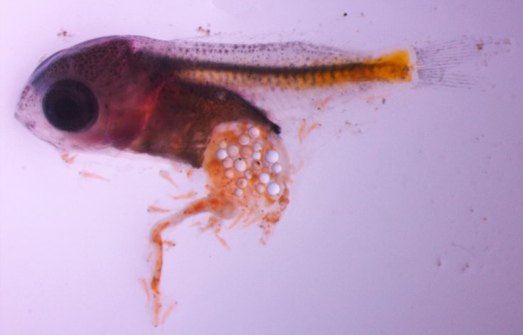 microplastics Damselfish larvae