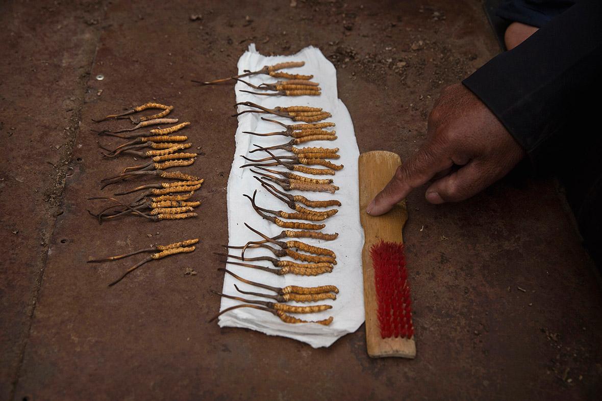 cordyceps Tibet caterpillar fungus