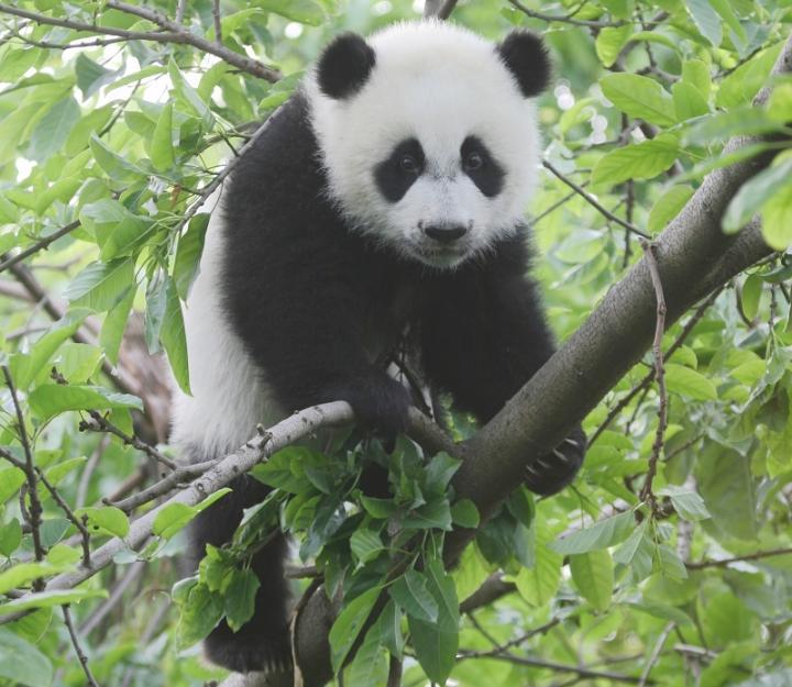 Panda climate change