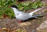 arctic tern record breaking migration