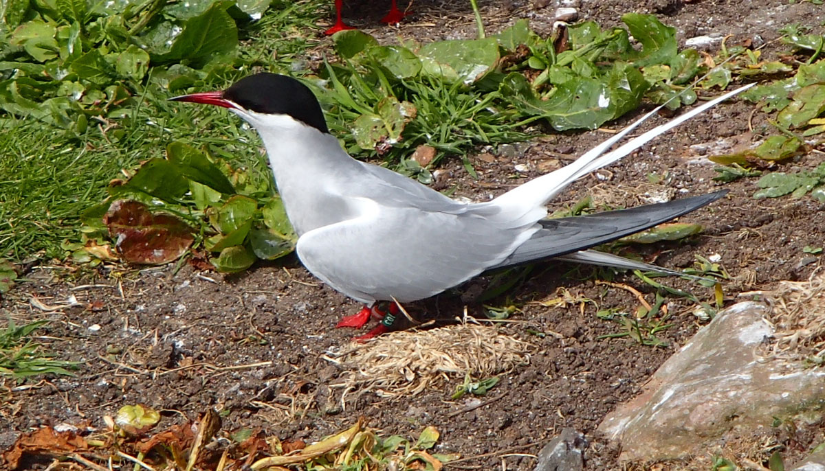 arctic tern record breaking migration