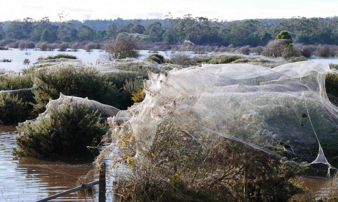 spider plague tasmania
