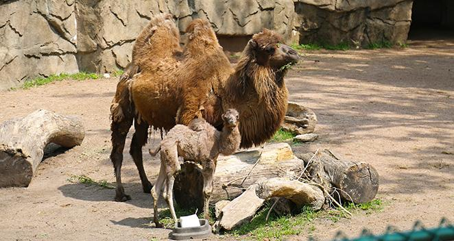 Bactrian baby camel Alexander Camelton
