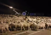 Over one thousand sheep invade Spanish city after shepherd falls asleep