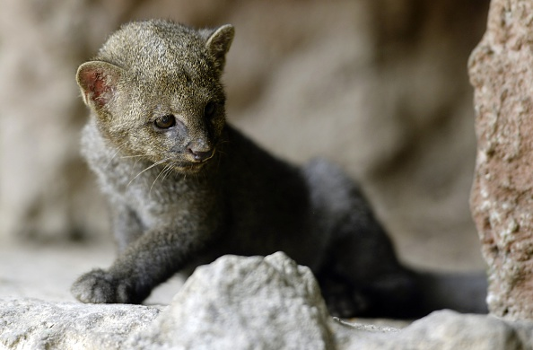 jaguarondi animal decline