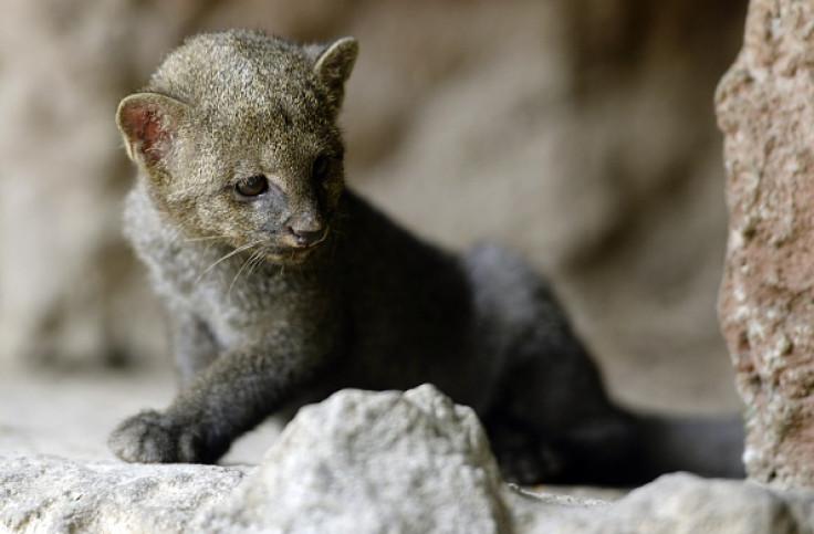 Jaguarundi Cats Habitat Destruction And Fur Trade Driving