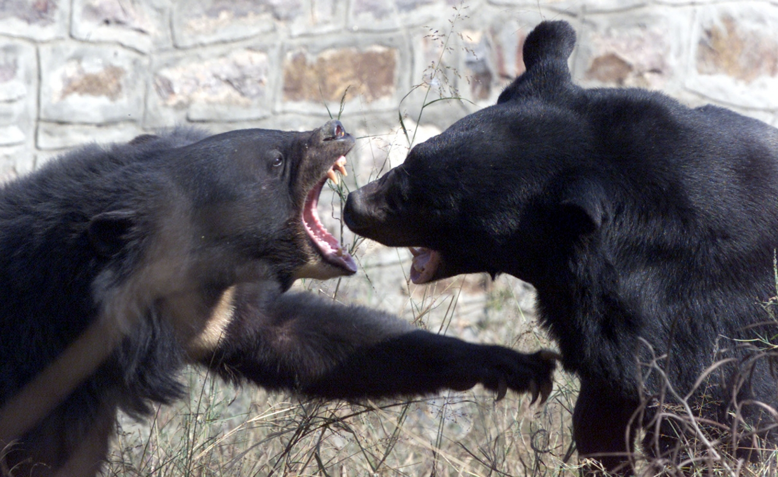 Asiatic bears