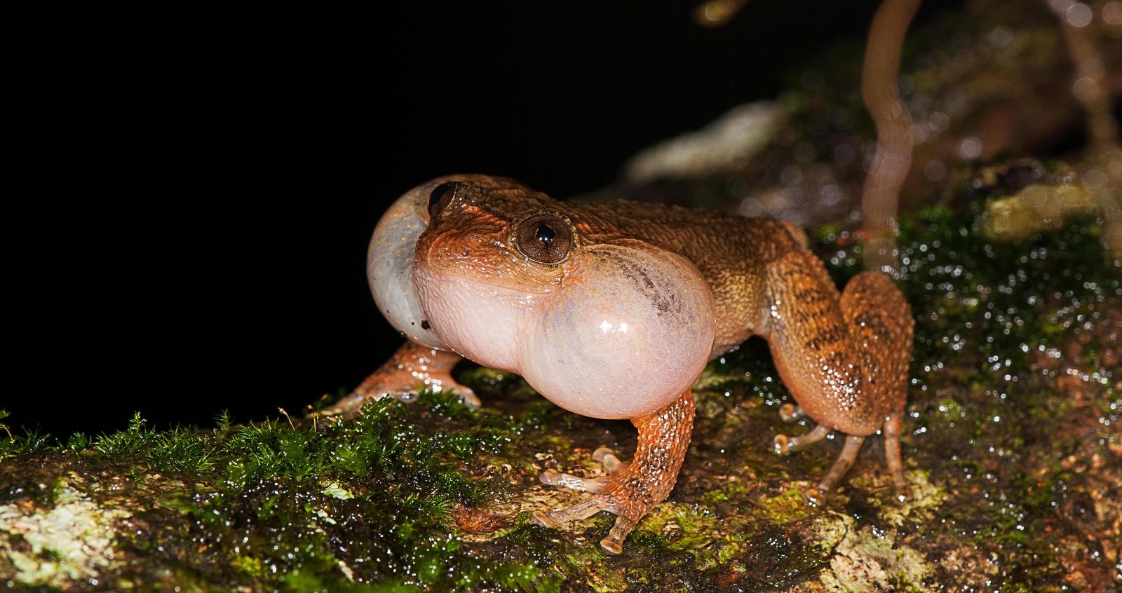 bombay night frog