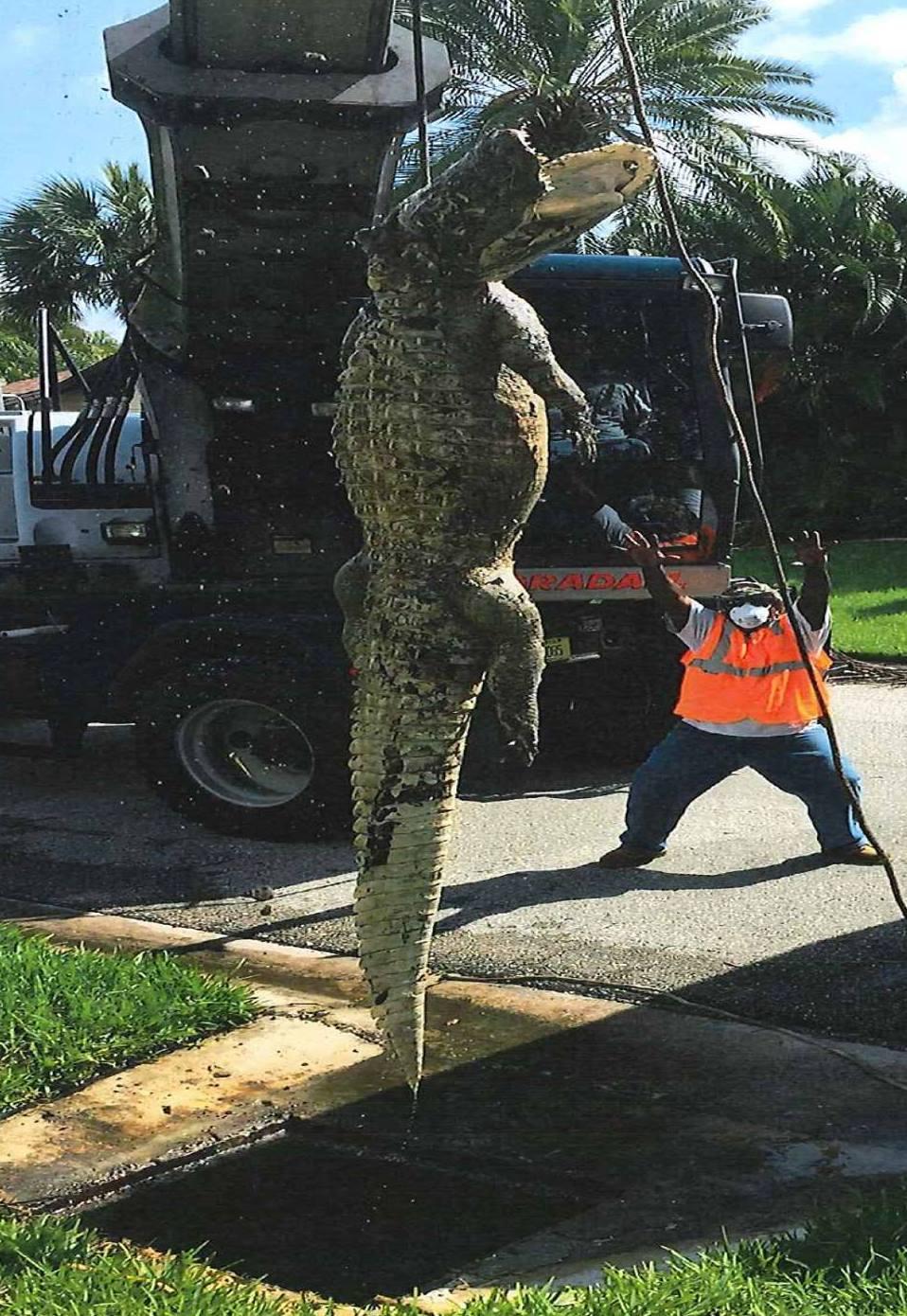 11ft Long Alligator Found Blocking Florida Drain