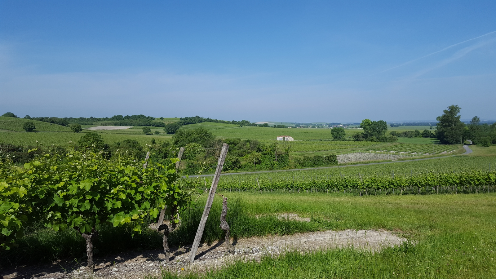 Grapes vines and rolling hills in Cognac