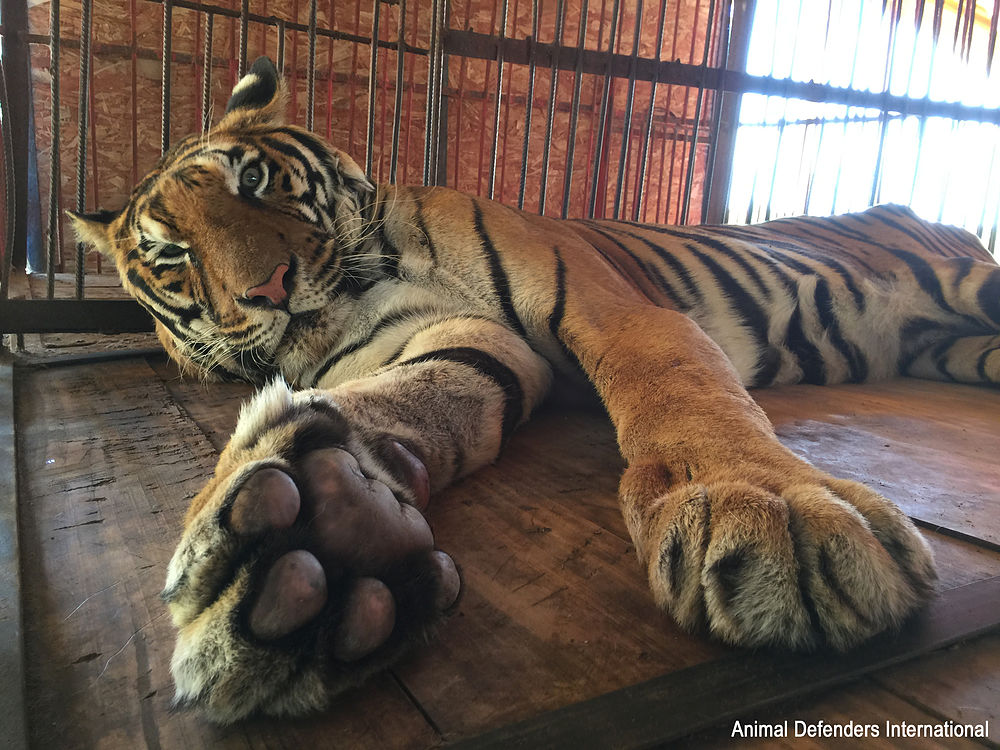 Hoover the tiger in his circus cage