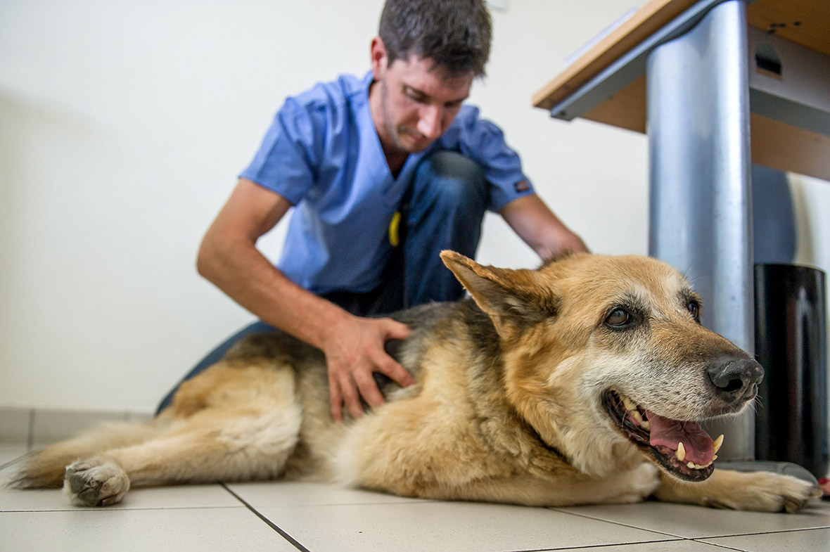 Dog being checked by vet