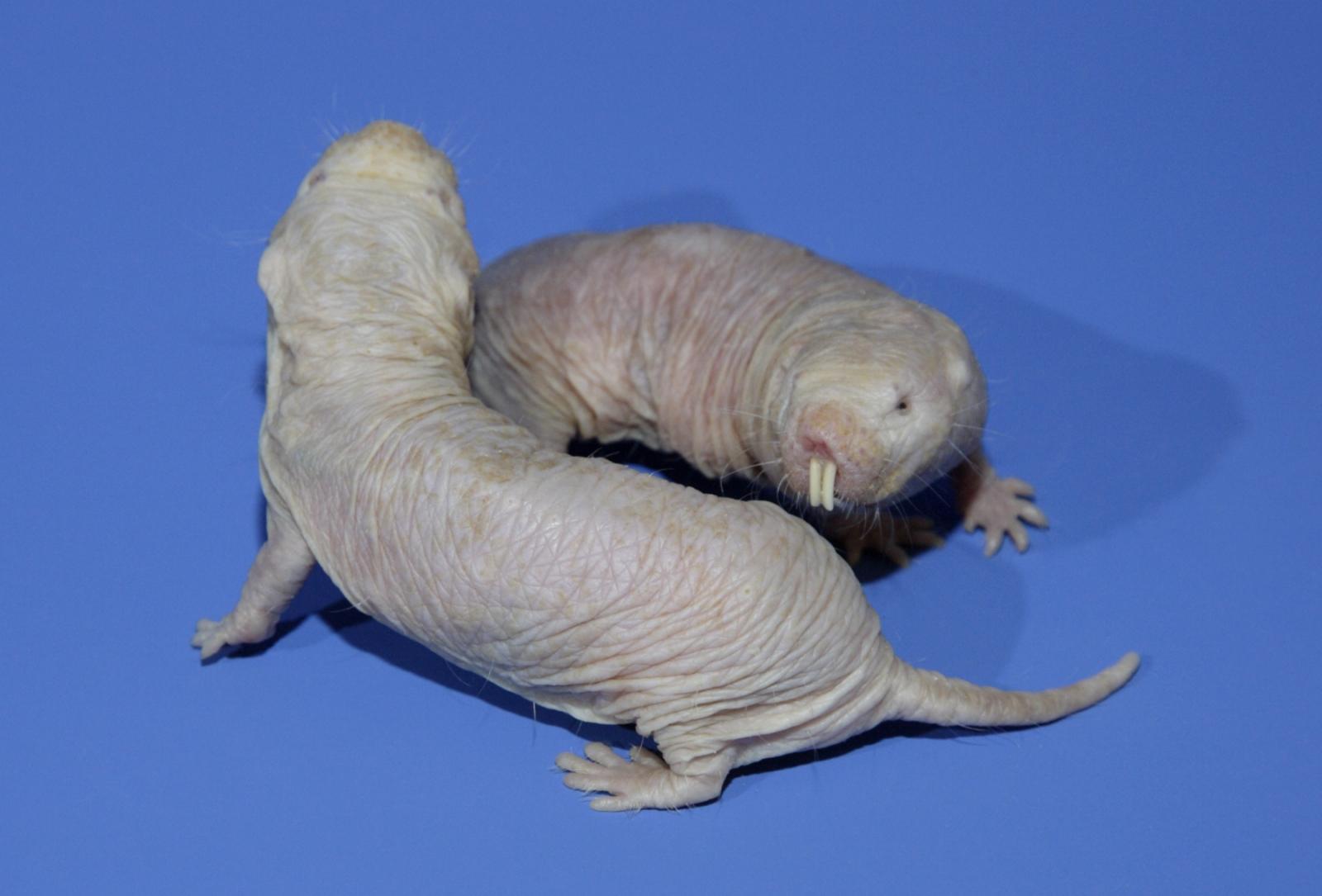 naked mole rat cancer