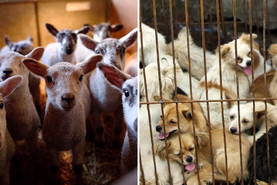 Dogs lambs