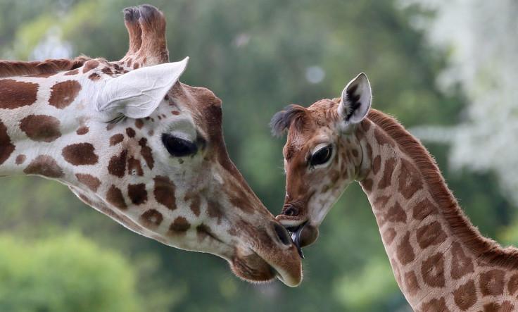 Giraffe extinct