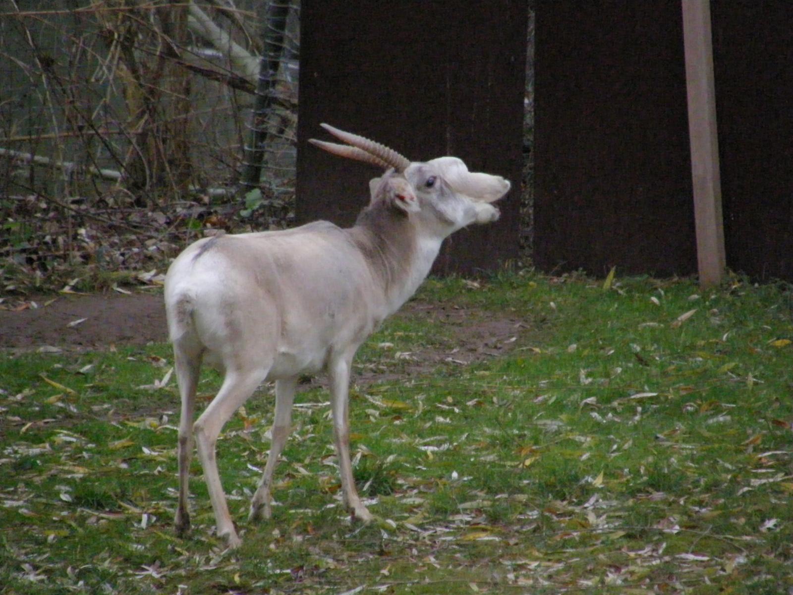 Kazakhstan Saiga Antelope Population Shows Signs Of