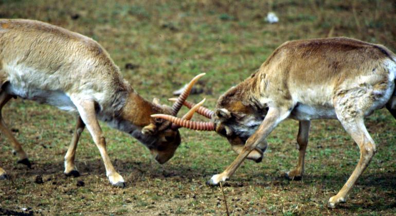 saiga antelopes threat