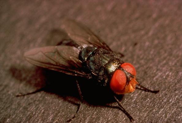 Screwworm flies reproduction