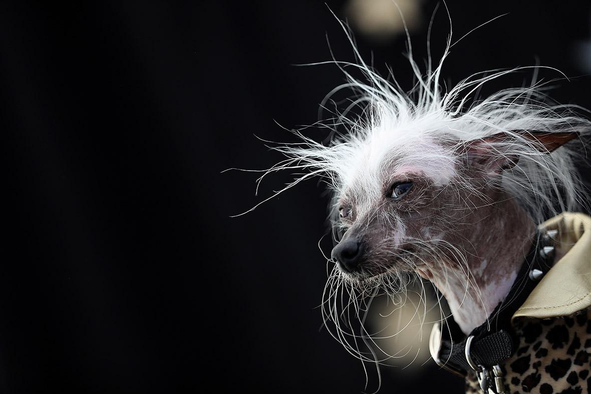 Worlds ugliest dog 2016