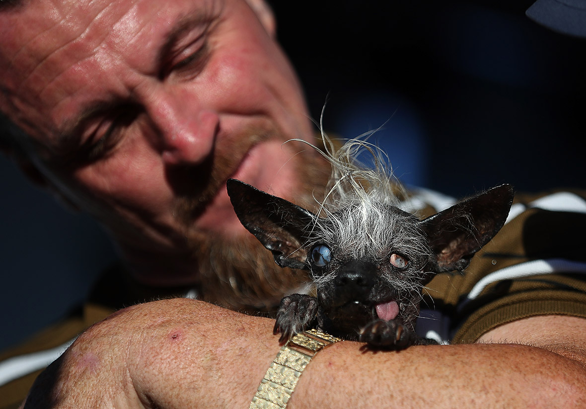 World's Ugliest Dog 2016: Blind chihuahua-Chinese crested ...