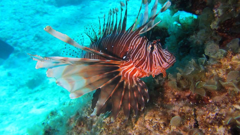 lionfish Pterois miles devil firefish