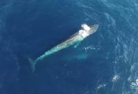 Blue Whales Explainer Video