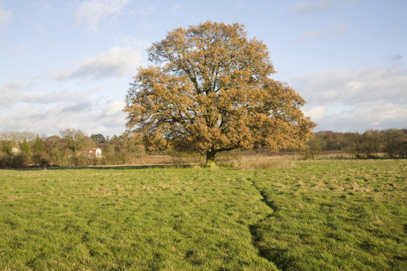 oak tree light pollution