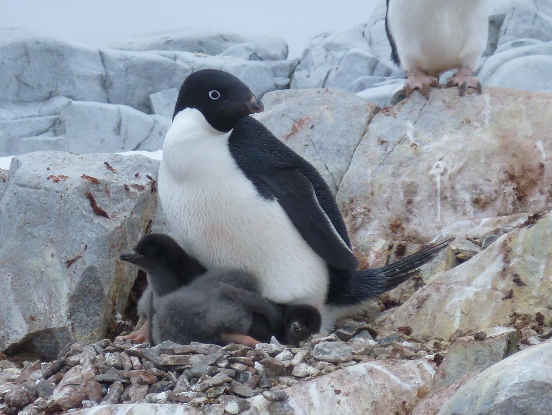 Adelie penguin decline