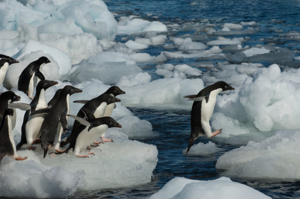 Adelie penguin decline