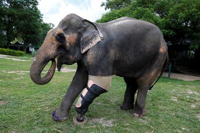 Elephants with prosthetic legs