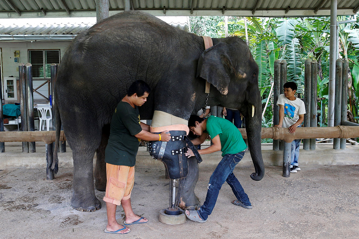 Elephants with prosthetic legs