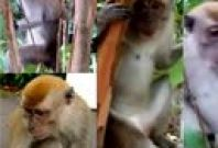 Chippy the macaque
