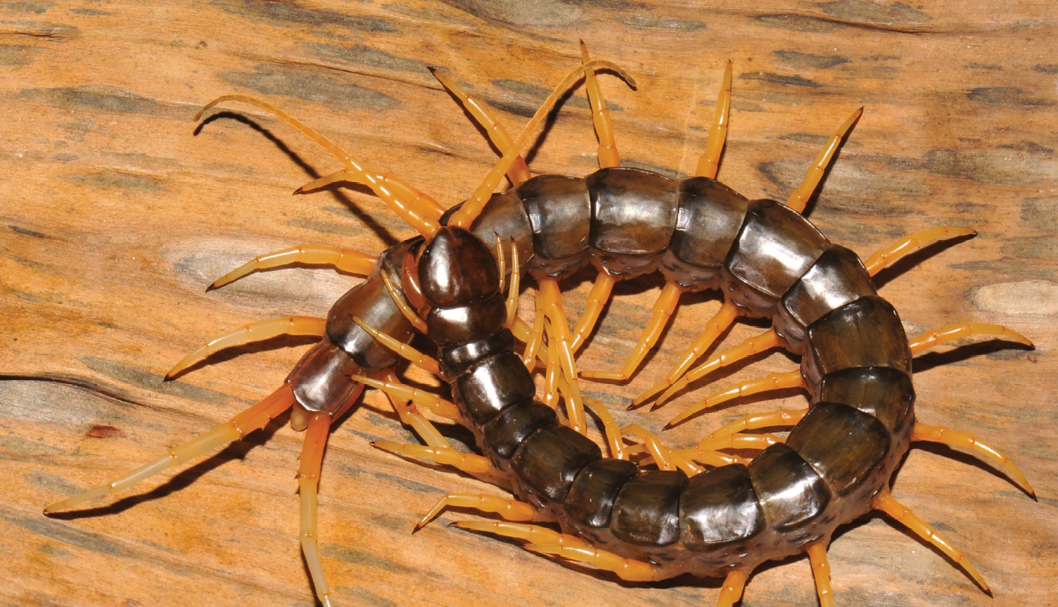 centipede new species