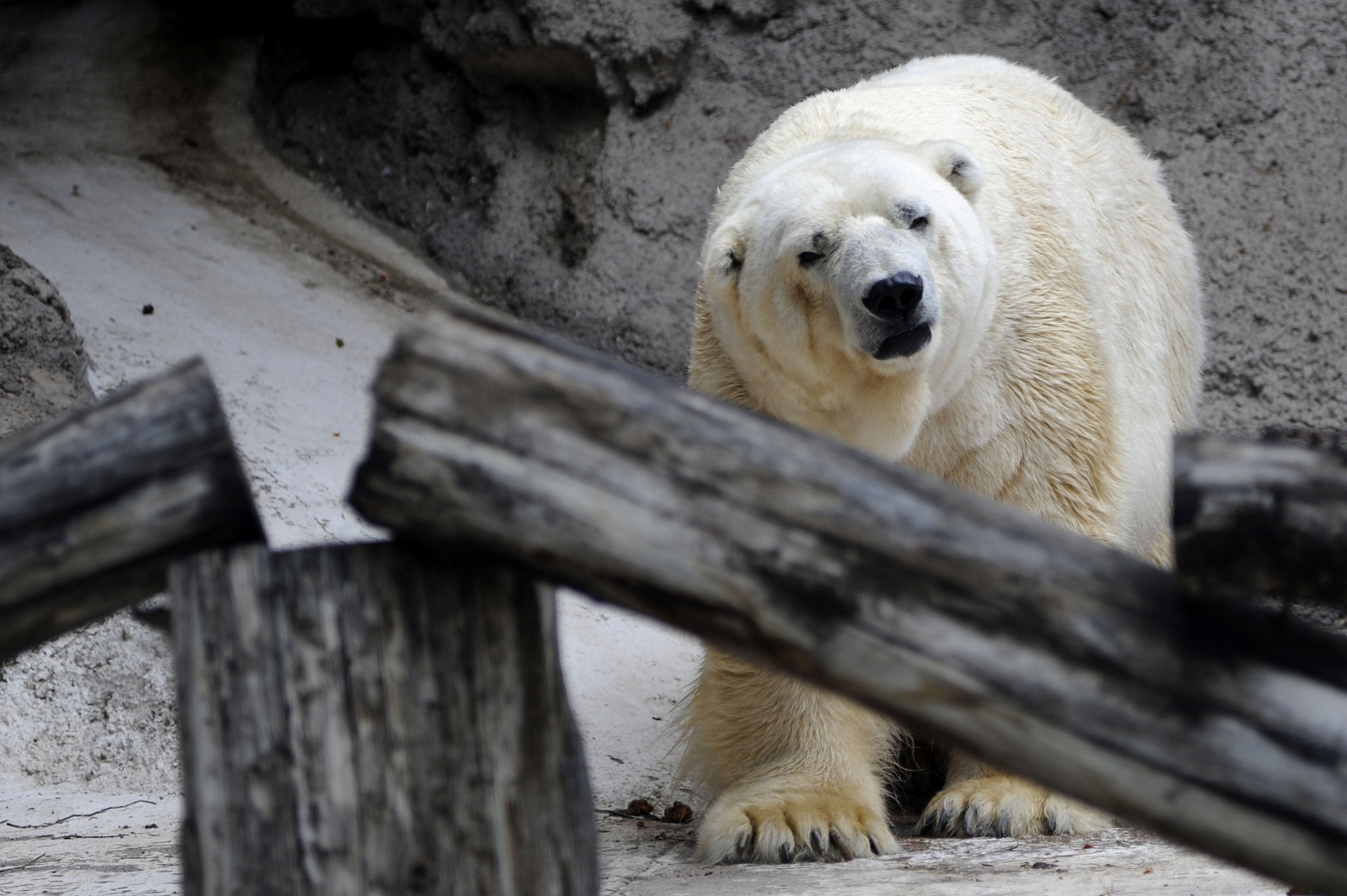 Arturo, Argentina's last polar bear, in 2014
