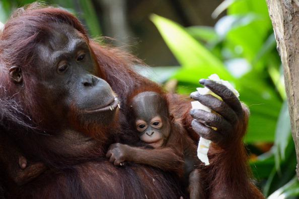 Bornean Orangutan decline