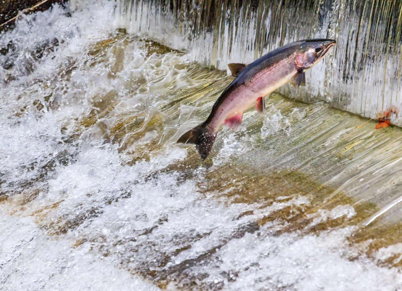Live stream watch bears catch leaping salmon in alaska for California fish hatcheries