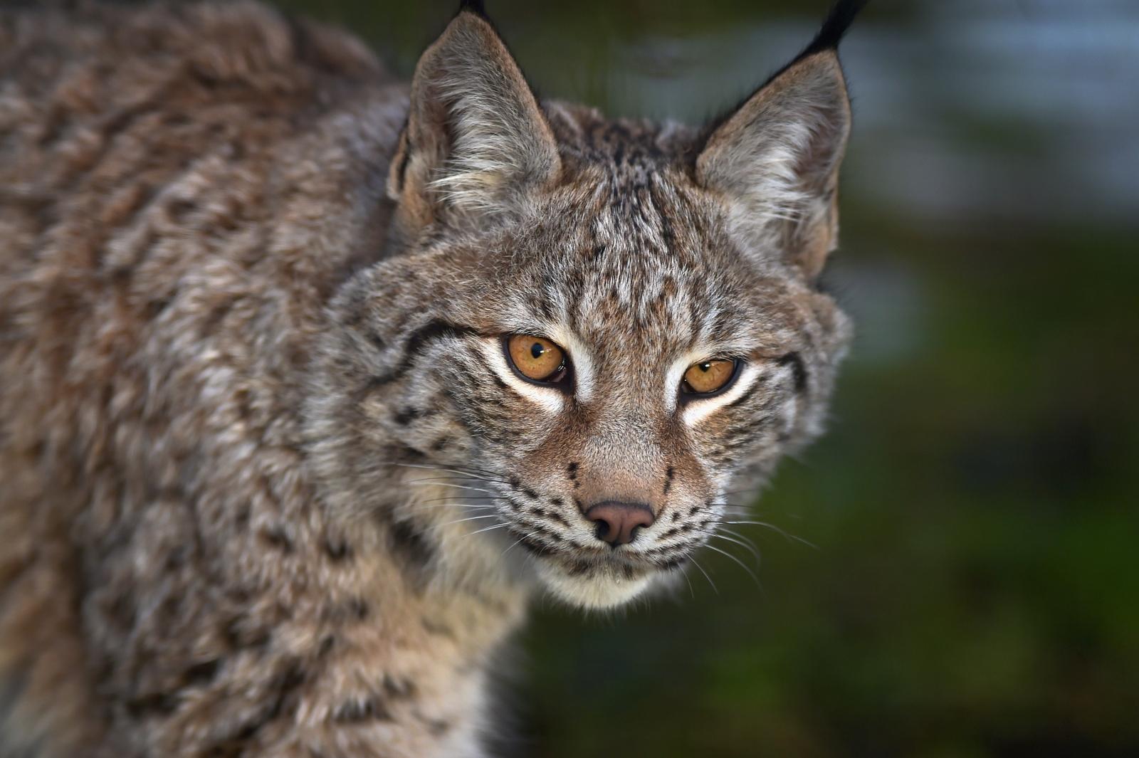 Dartmoor escaped Lynx