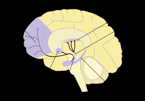 brain striatum graph