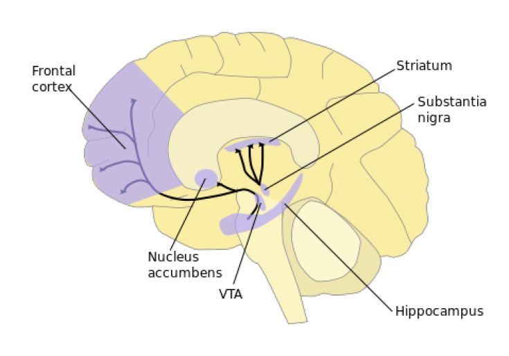 brain striatum graph